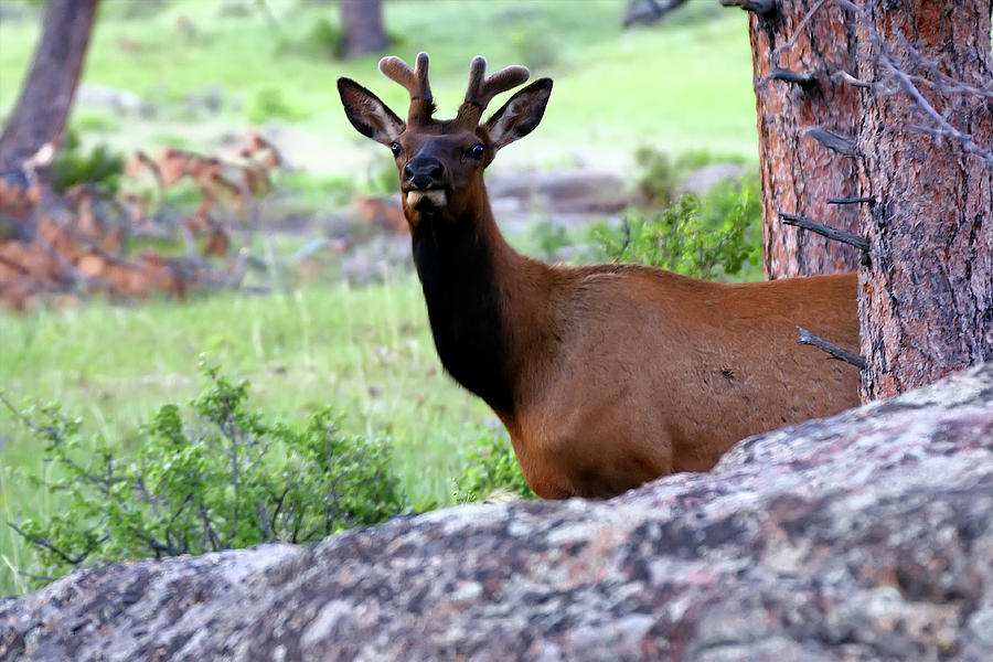 Young Elk by Alan Hutchins