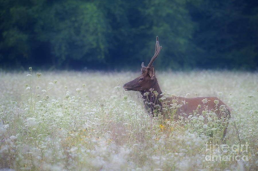 Elk Photograph - Young Elk In The Smokies. by Itai Minovitz