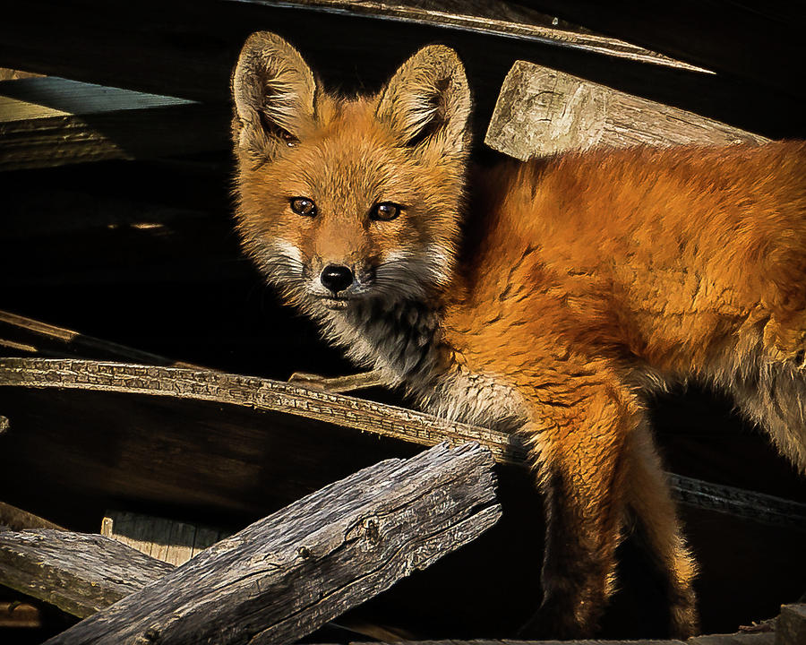 Young Fox in The Wood by Will Bailey