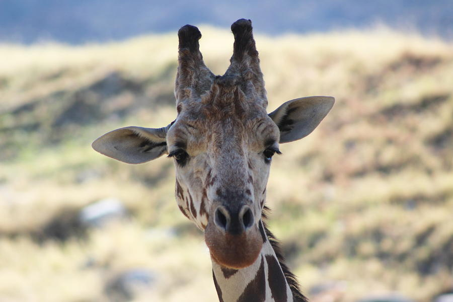 Giraffe Photograph - Young Giraffe Closeup by Colleen Cornelius