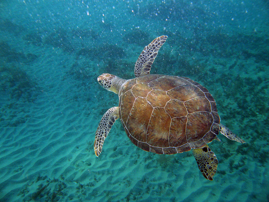 Underwater Photograph - Young Green Turtle by Kimberly Mohlenhoff