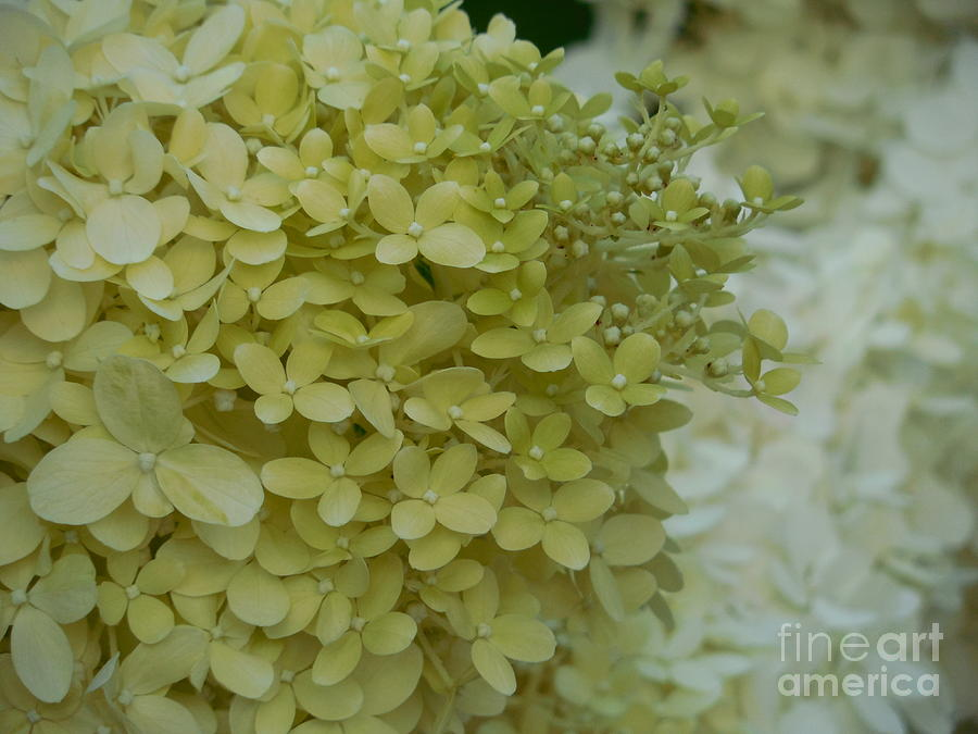 Young Hydrangea Blossoms Photograph By Rowena Throckmorton