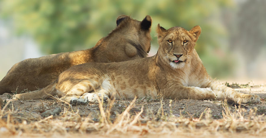 Lioness Photograph - Young Lioness by Yuri Peress