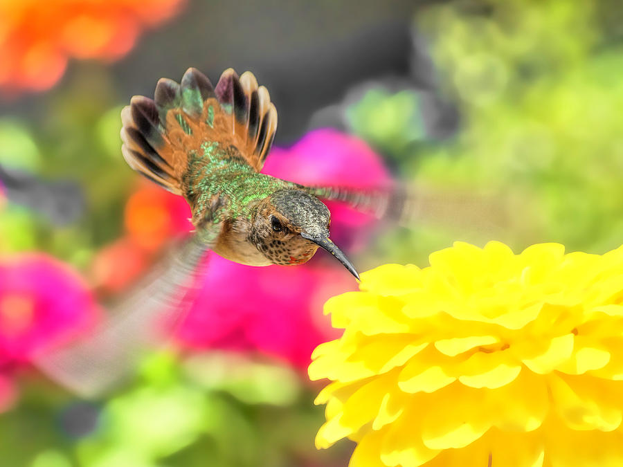 Hummingbird Photograph - Young Man by Mike Herdering