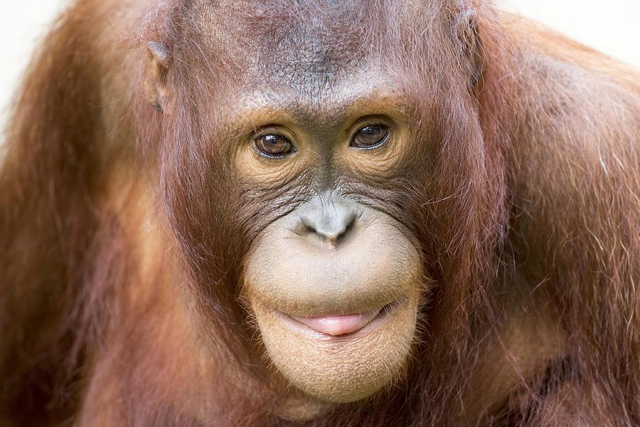 Orangutan Photograph - Young Orangutan Portrait by John McQuiston