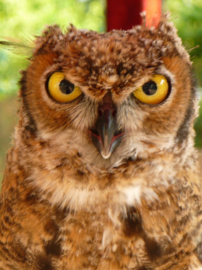 Owl Photograph - Young Owl by Jan Bennicoff