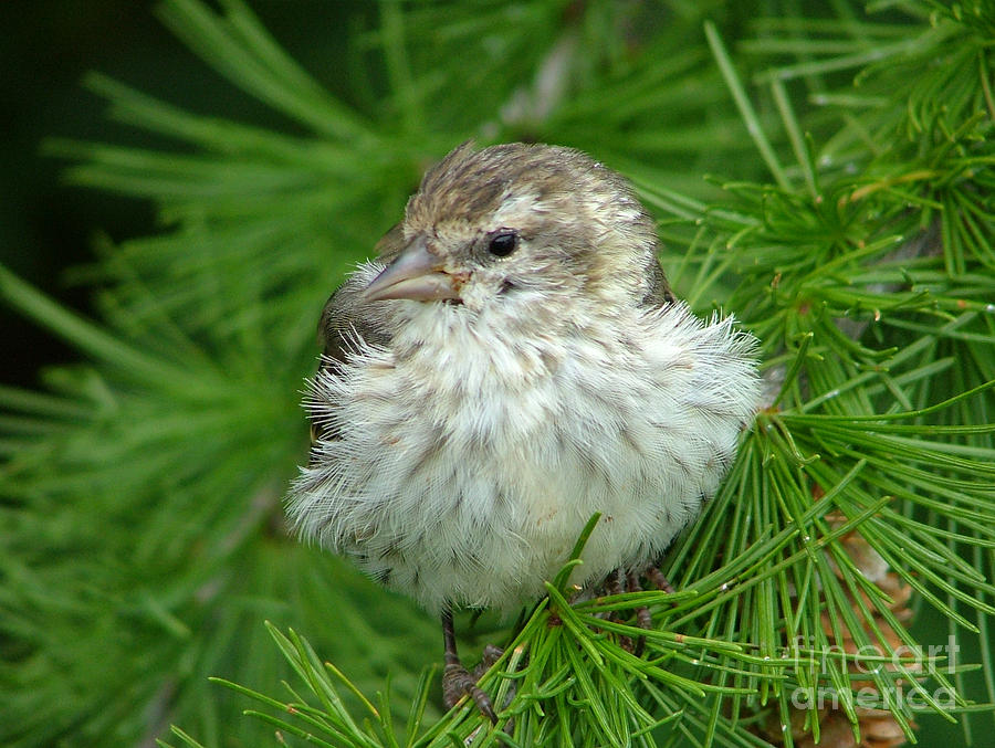 Pine Siskin Photograph - Young Pine Siskin by Katie LaSalle-Lowery