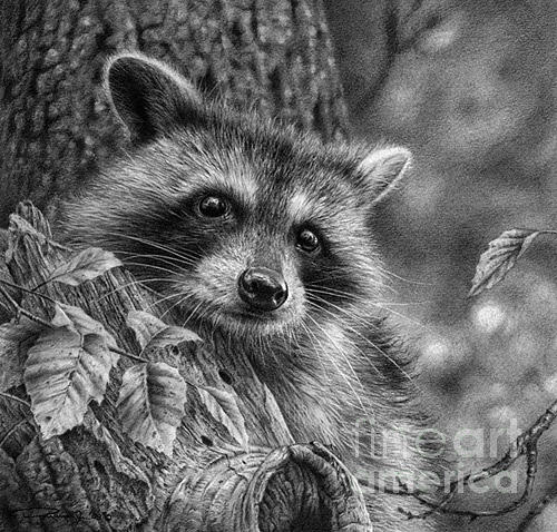 Young Raccoon Study Drawing by Denis Mayer Jr Raccoon Drawing