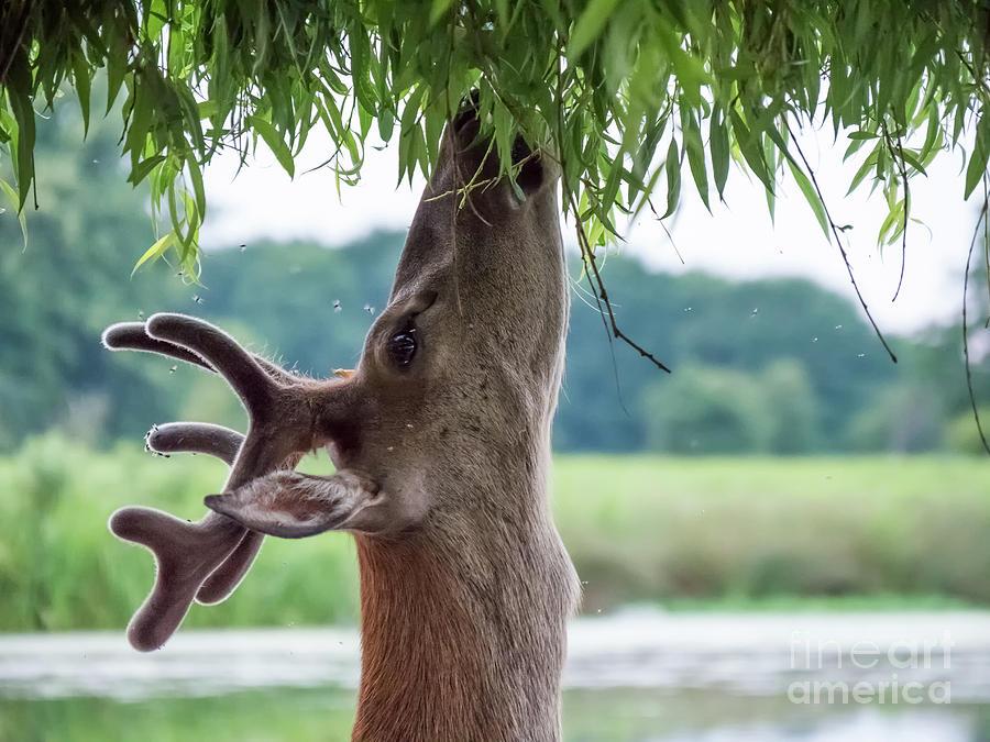 Antlers Photograph - Young Red Deer stag - Cervus elaphus - in velvet antlers, browsing by Paul Farnfield