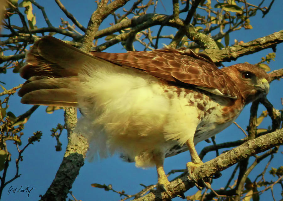 Birds Photograph - Young Red-tail by Phill Doherty