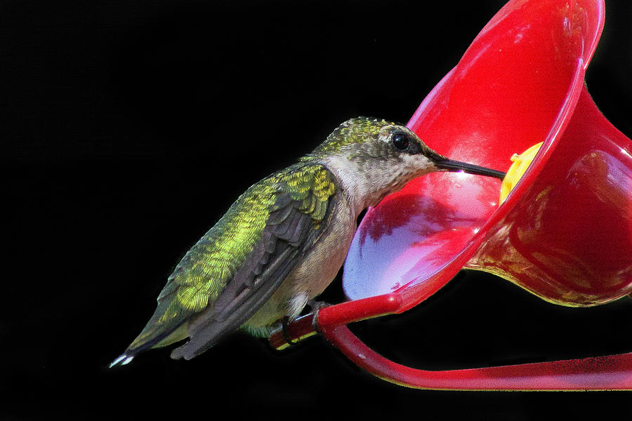 Young Ruby Throated Hummingbird 2 by Kenneth Cole
