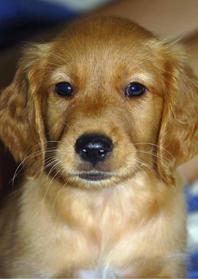 Puppy Photograph - Young Sam by Stephen Anderson