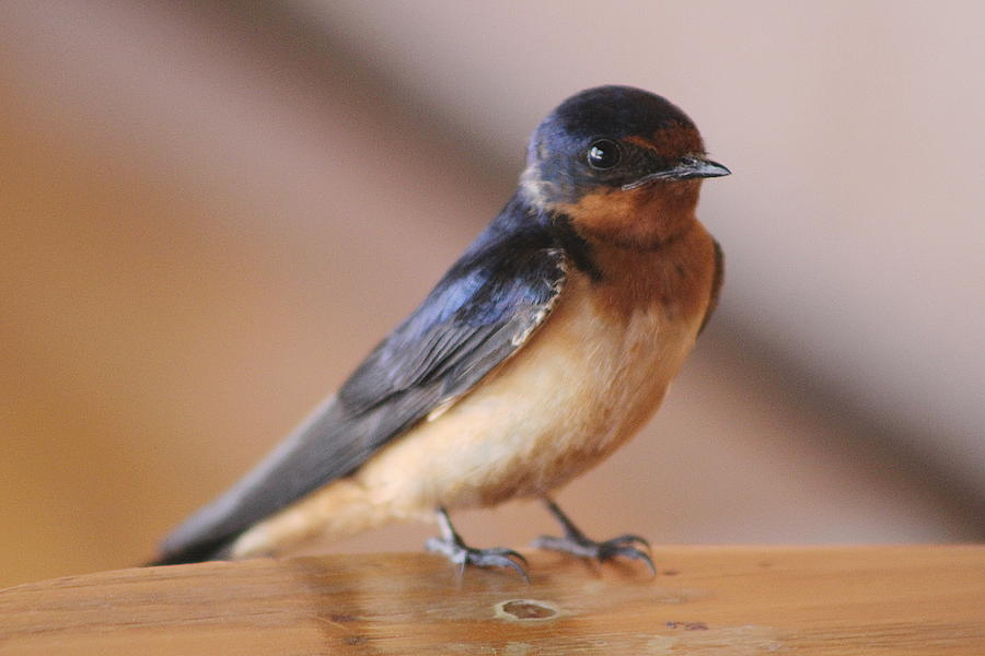 Swallow Photograph - Young Swallow Sitting by Colleen Cornelius