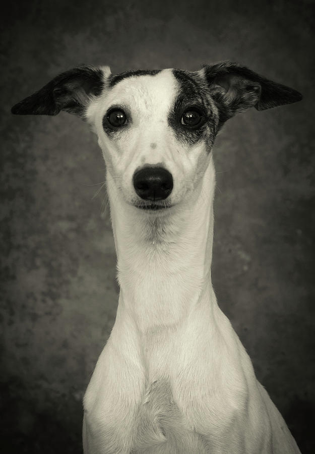 Young Whippet In Black And White Photograph by Greg and Chrystal Mimbs