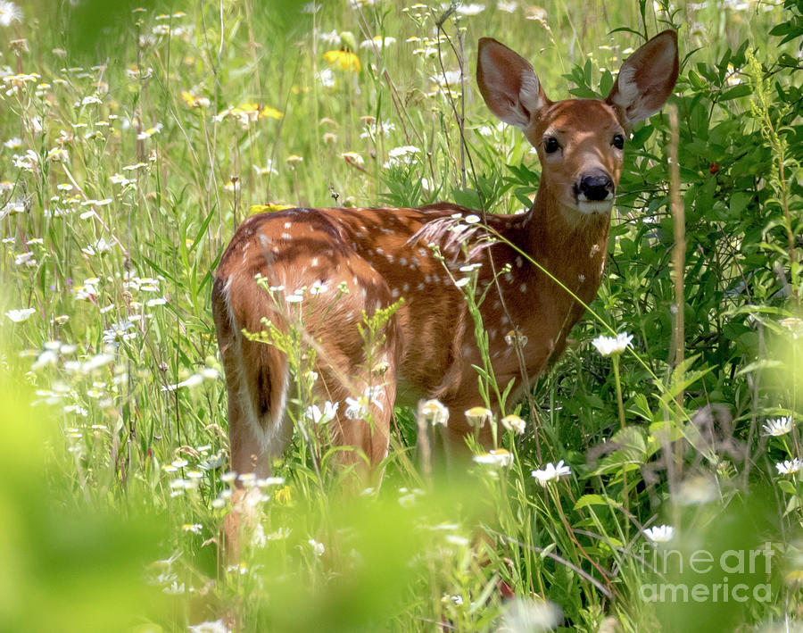 Young White-tailed Deer Photograph