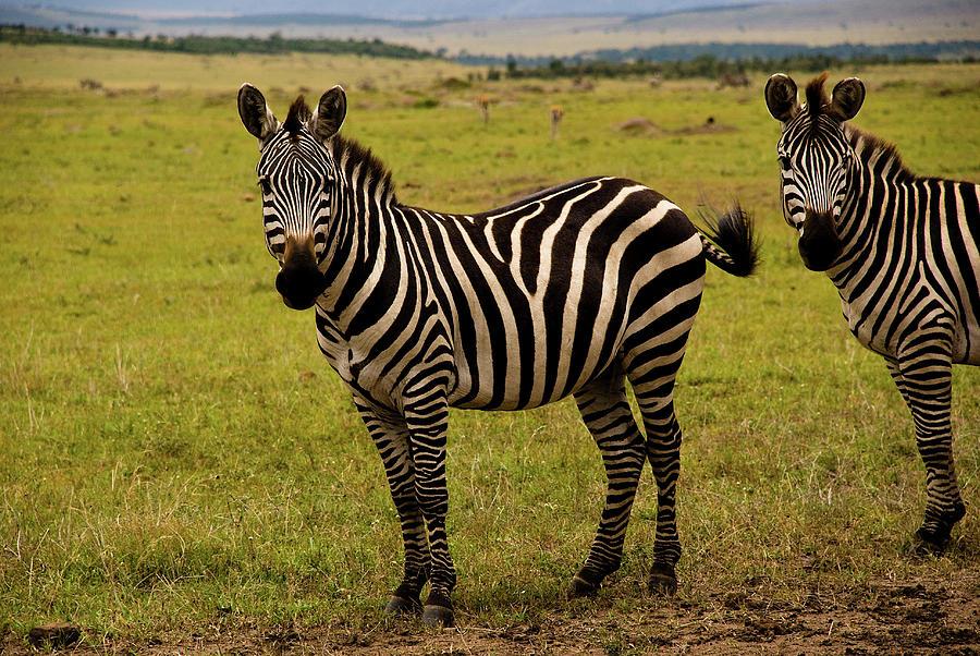Young Zebra Photograph by Sasil Sirivadhanakul