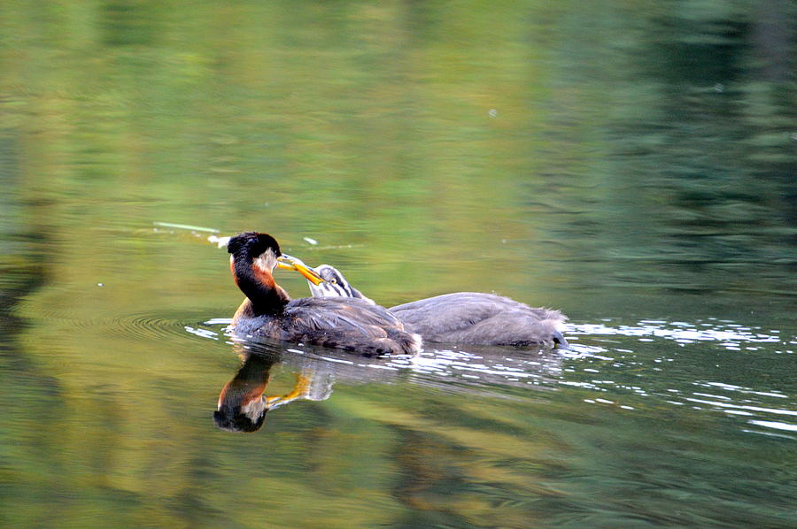 Red Necked Grebe Photograph - Your Making To Much Noise by Sherry McKellar
