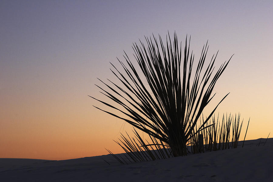 Yucca at Sundown by Harold Stinnette