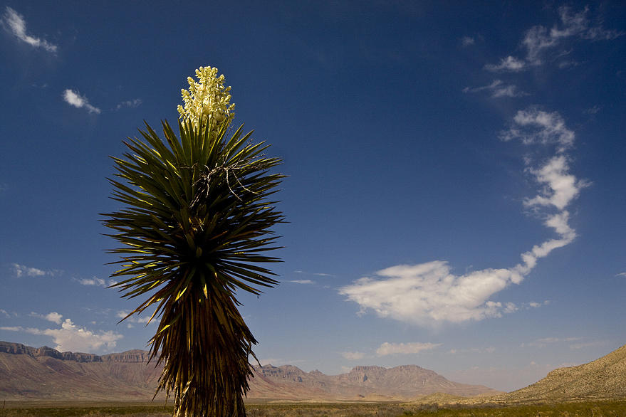 Nature Photograph - Yucca In Bloom by Kelley Swinney