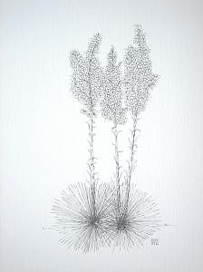 Print Drawing - Yucca by Joanie Arvin