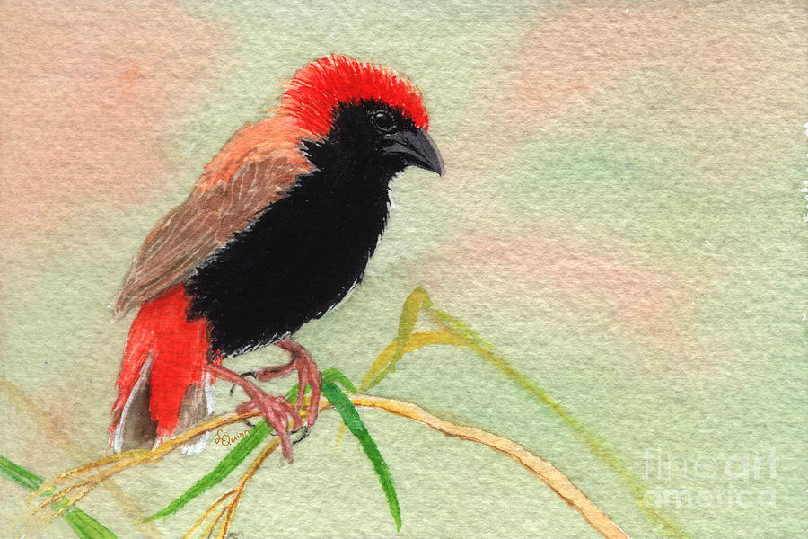 Bird Painting - Zanzibar Red Bishop by Lynn Quinn