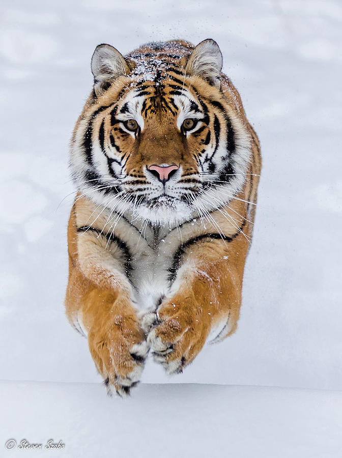 Tiger Photograph - Zeal by Steven Szabo