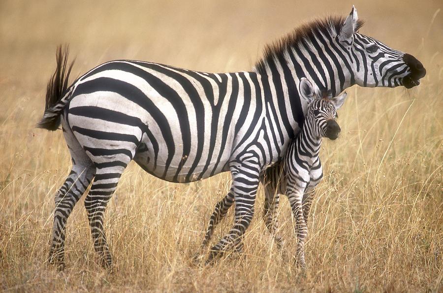 Animal Photograph - Zebra And Foal by Johan Elzenga