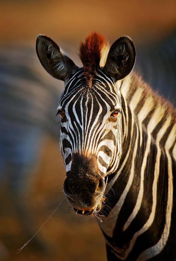 Zebra Close-up Portrait Photograph