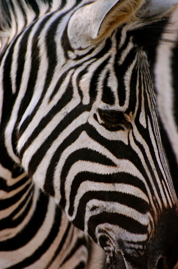 Zebra Photograph - Zebra Close Up by Tess Haun