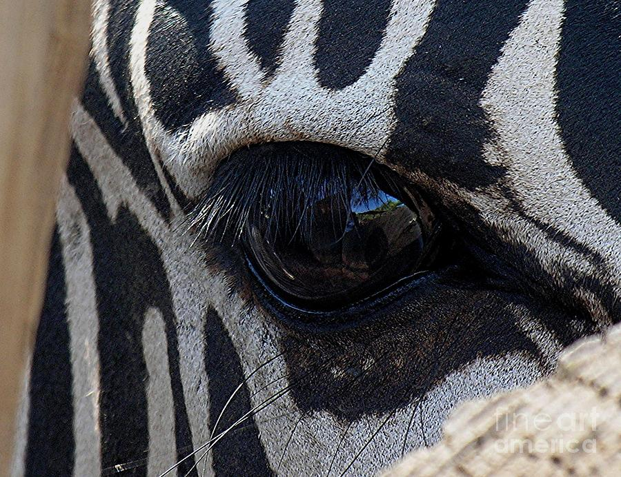 Zebra Photograph - Zebra Eye by Diane Greco-Lesser