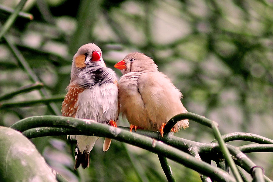 Zebra Finch Colloquy by Rona Black