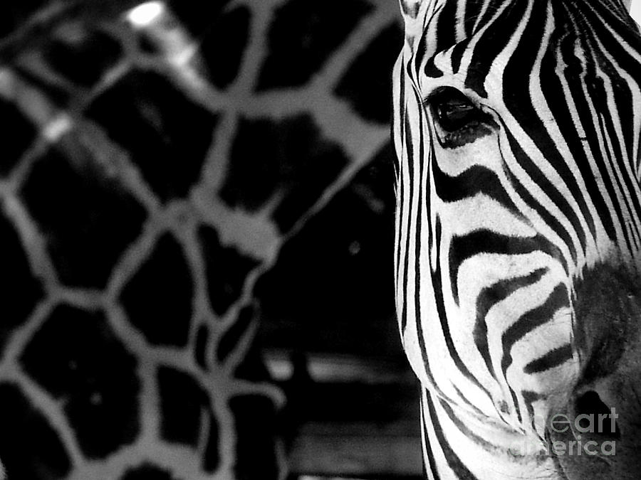 Zebra Photograph - Zebra G by Tonya Laker