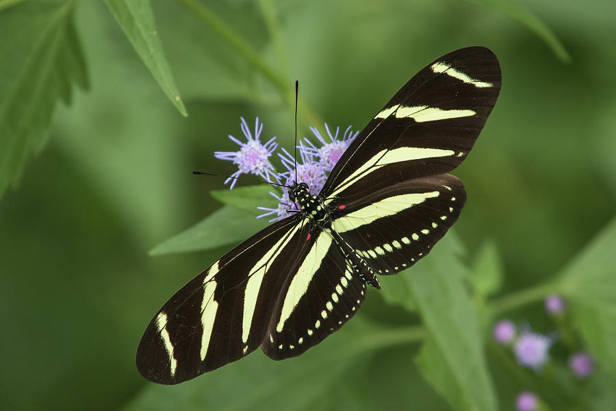 Zebra Heliconian, Heliconius charithonia by Jim and Lynne Weber