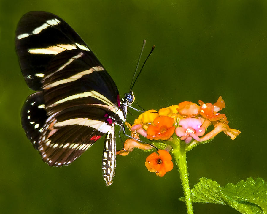 Butterfly Photograph - Zebra Heliconian On Milkweed Flower by Don Durfee