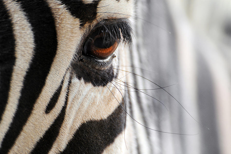 Stephanie Butler Photograph - Zebra ... Lashes by Stephie Butler