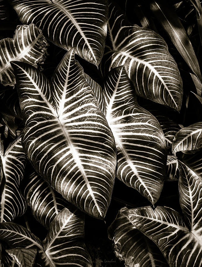 Zebra Leaves by Wim Lanclus