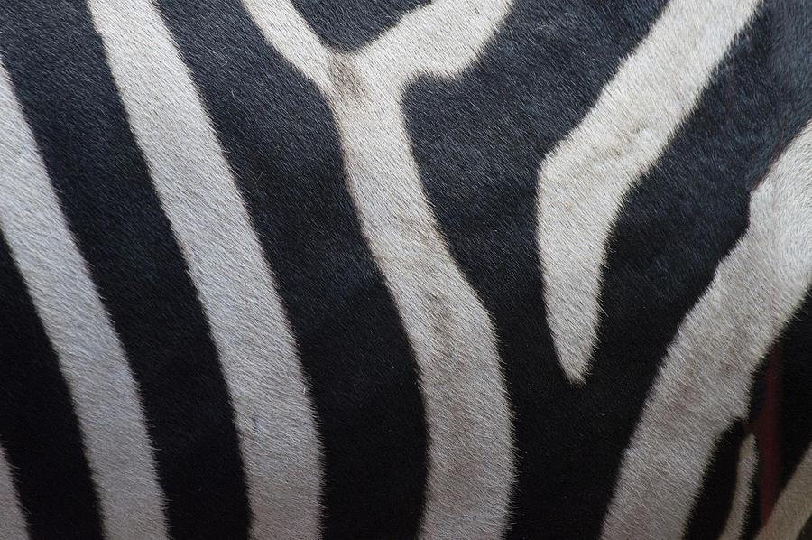 Texture Photograph - Zebra by Linda Geiger