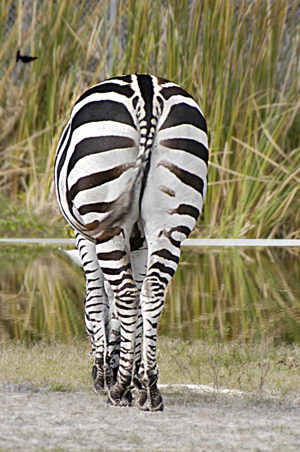 Animals Photograph - Zebra  by Linda Nordquist