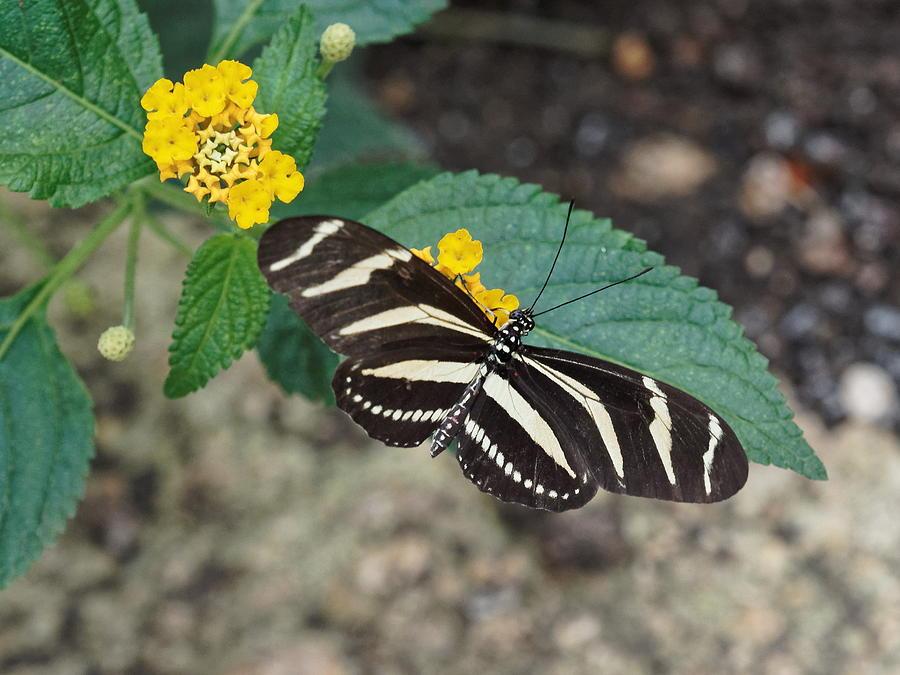 Zebra longwing Butterfly - 1 by Paul Gulliver