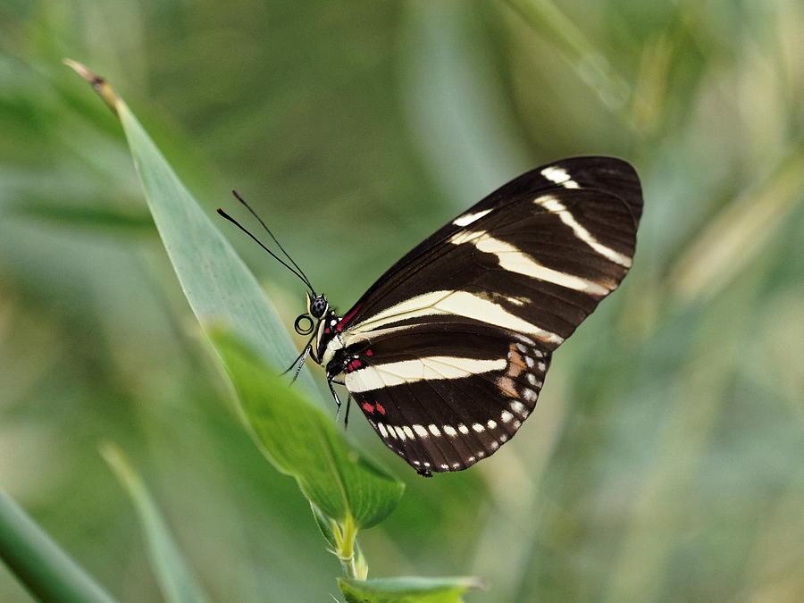 Zebra longwing Butterfly - 2 by Paul Gulliver