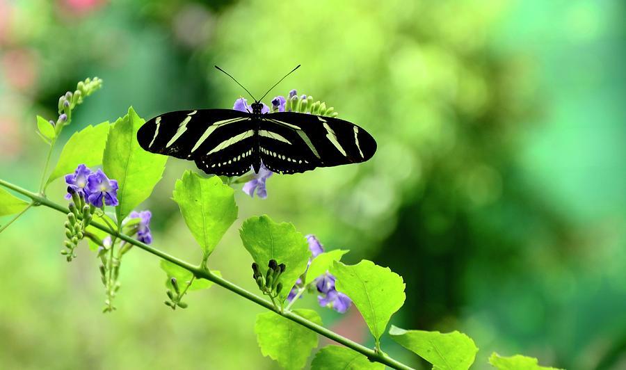 Butterfly Photograph - Zebra Longwing Butterfly by Corinne Rhode
