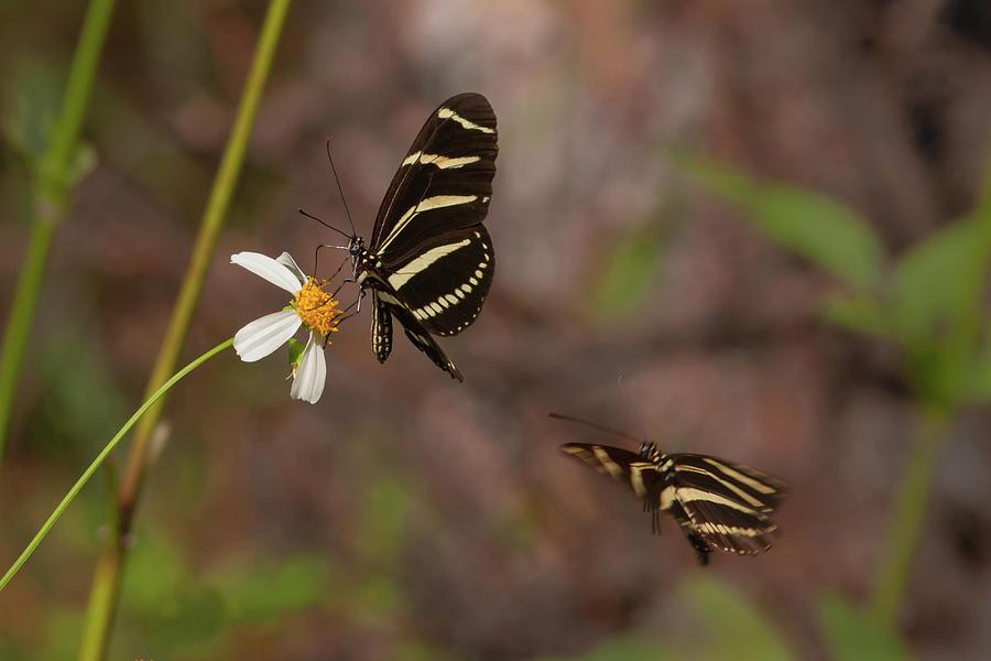 Zebra Longwings Photograph