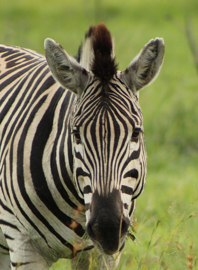 Zebra Looking At You Photograph by Denise Dean