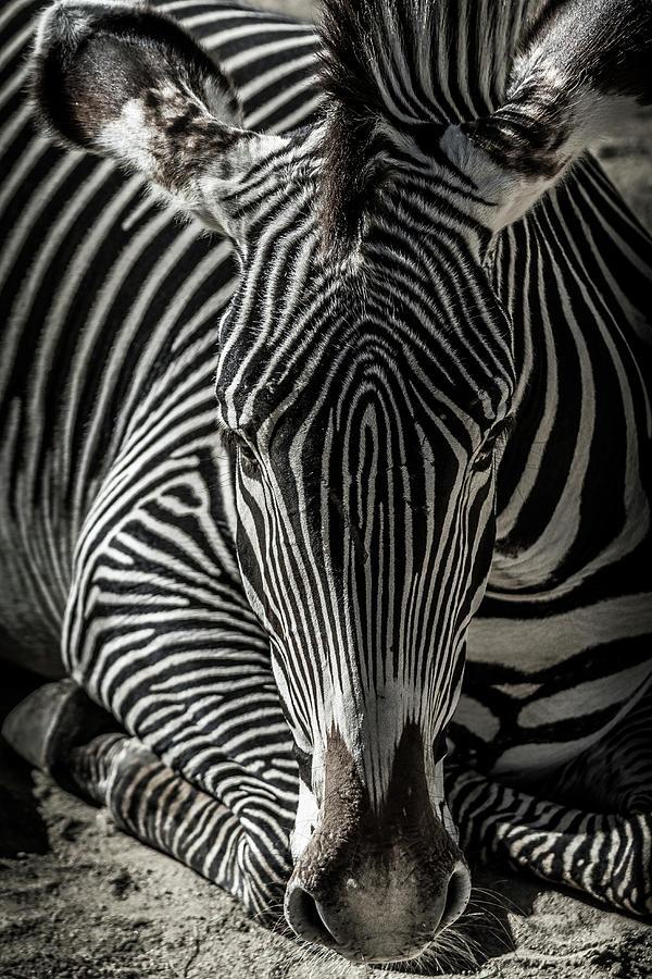 Zebra Photograph - Zebra  by Martin Alonso