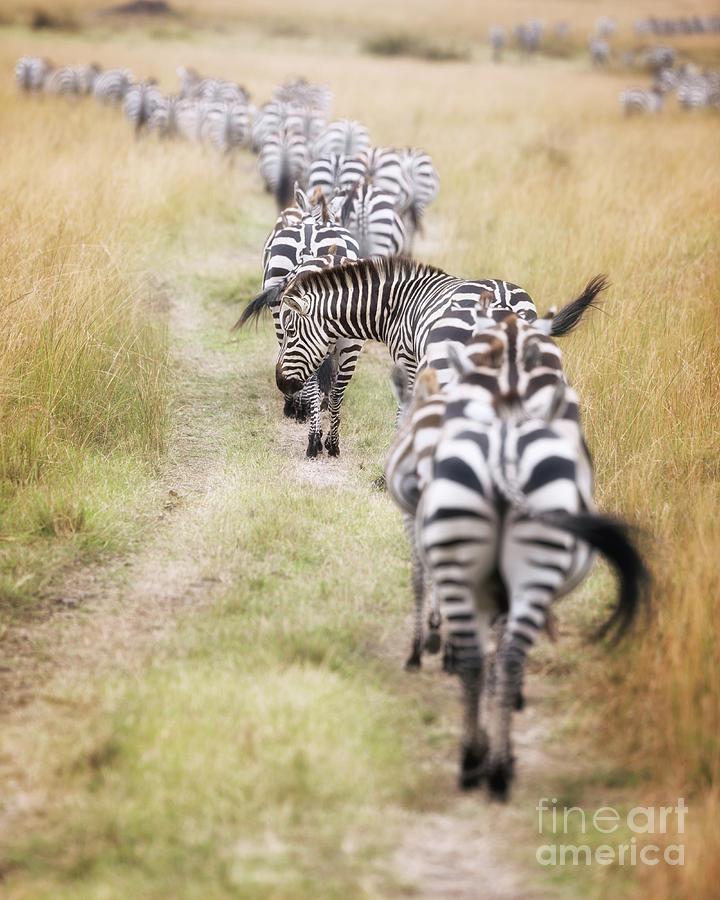 Mara Photograph - Zebra Migration In  The Masai Mara by Jane Rix