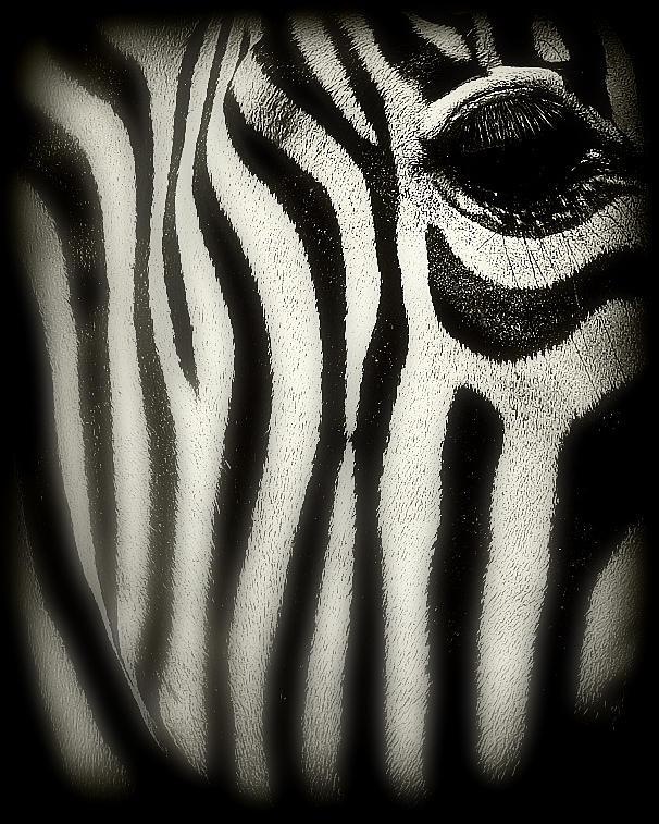 Zebra Photograph - Zebra by Perry Webster