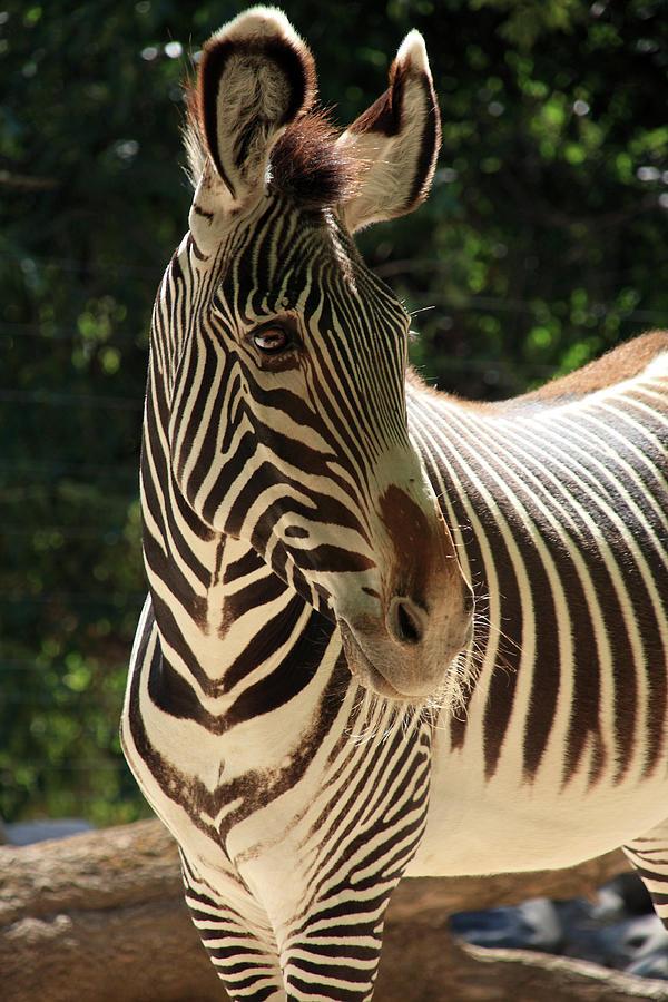 Zebra Photograph - Zebra Portrait by Aidan Moran