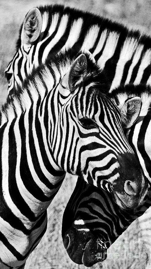 Zebra Pyramid Photograph