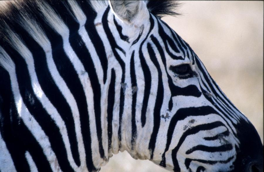 Africa Photograph - Zebra Stripes - Tanzania Africa by Christina Solstad
