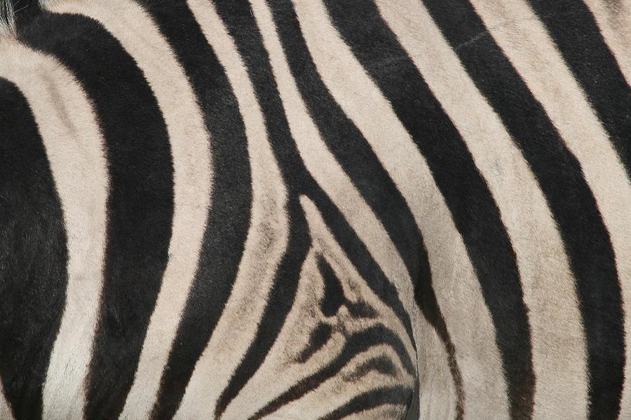 Zebra Photograph - Zebra Stripes by Bruce J Robinson